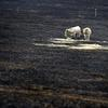 The devastation of yesterdays South Gippsland fires, cattle in a burnt out paddock in Warragul.